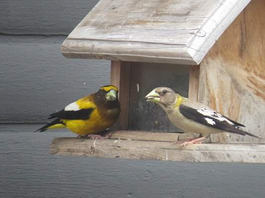 closeup photo of yellow birds at a feeder