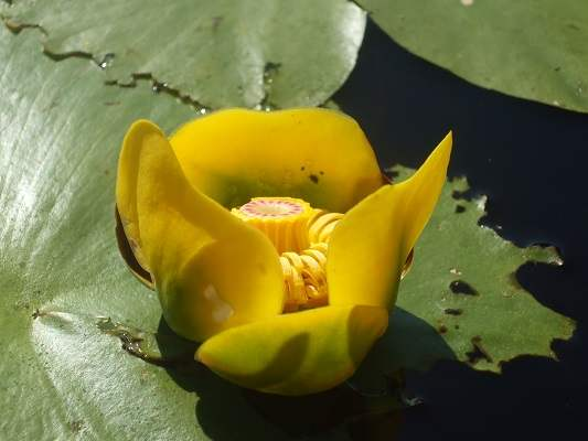 close-up photo of yellow water lily