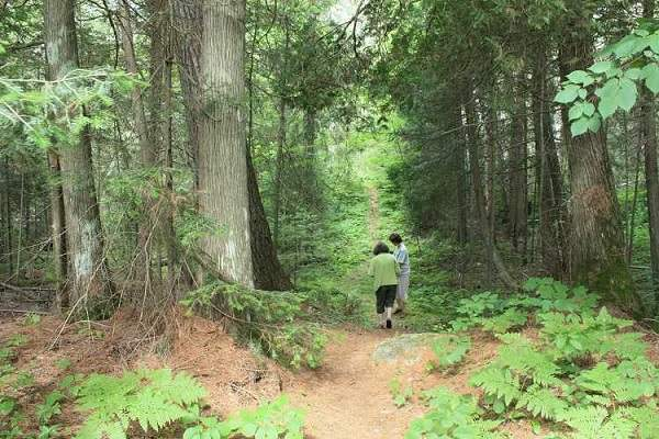 image of two women hiking among huge old-growth white pine trees