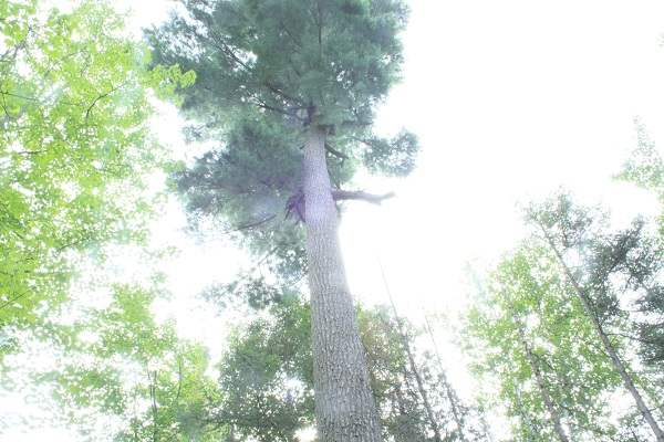image of old-growth tree, looking up into treetop