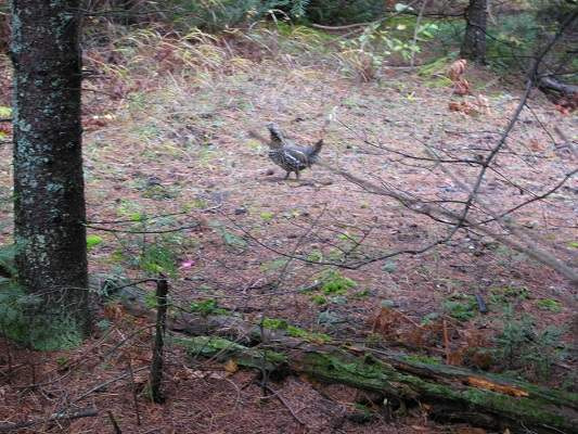 photo of grouse on forest path