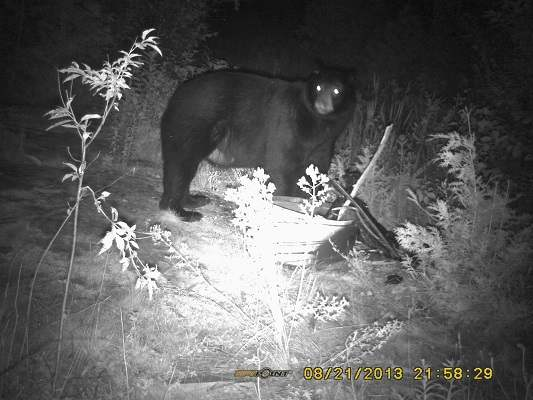photo of standing black bear at night