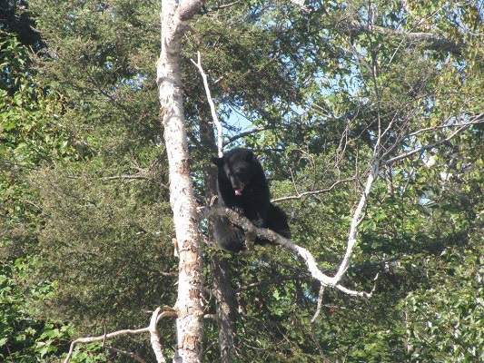 photo of bear on tree branch