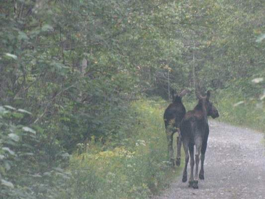 photo of two moose calves on sideroad