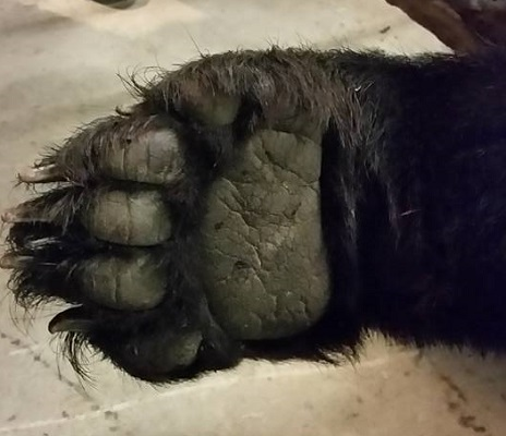 photo of huge bear front paw