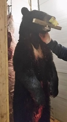 photo of harvested black bear
