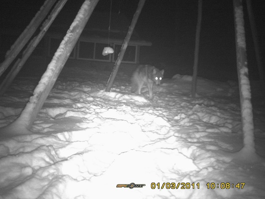 photo of hunched wolf at night