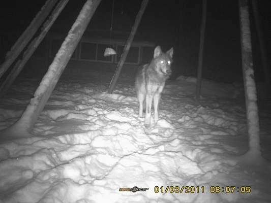 photo of standing wolf at night